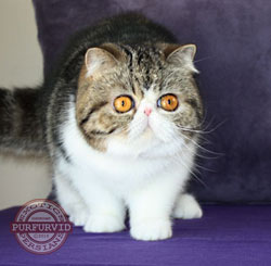 brown tabby-white Exotic Shorthair