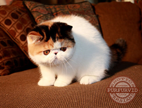 calico Exotic Shorthair